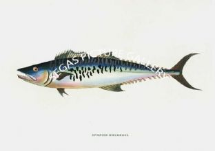 Mackerel, Spainsh
